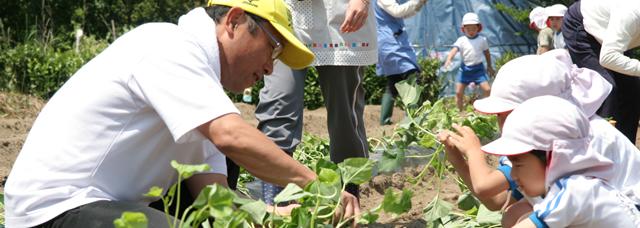 幼稚園児と芋の苗植え