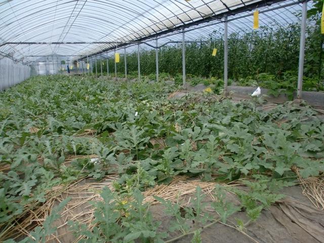 すくすくと育つ、スイカやトマト達