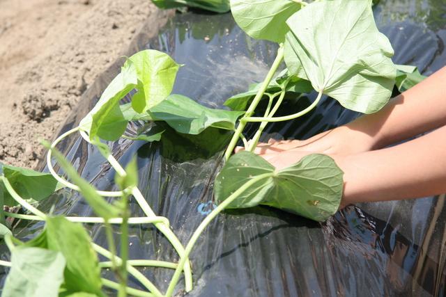 さつま芋苗植え
